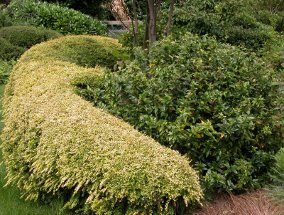 Lonicera Hedge 1